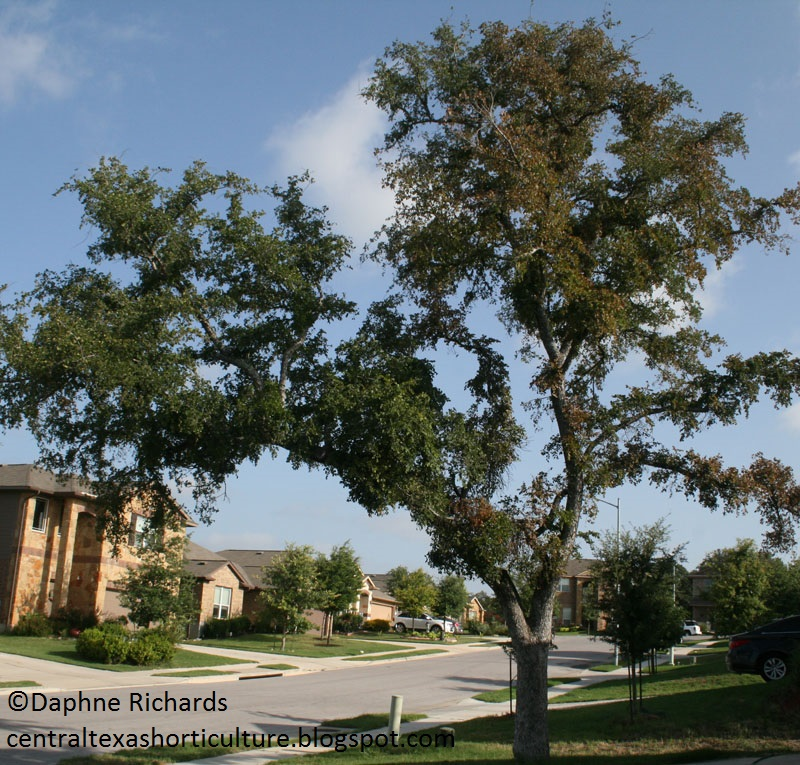cedar elm dying by Daphne Richards Travis County Extension
