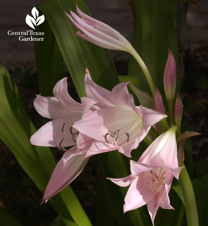 Mystery pink crinum