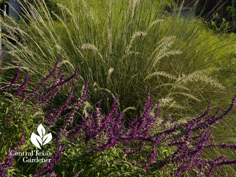Lindheimer muhly with Salvia leucantha