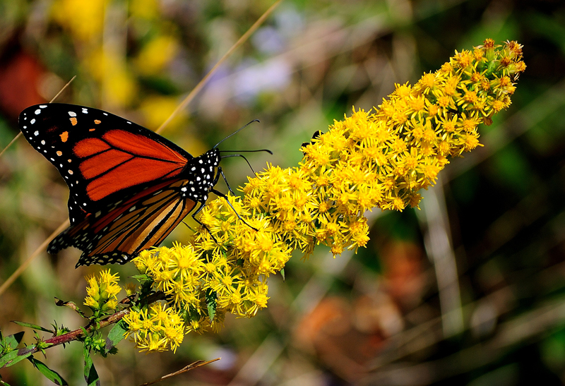 Monarch butterfly on goldenrod The National Butterfly Center