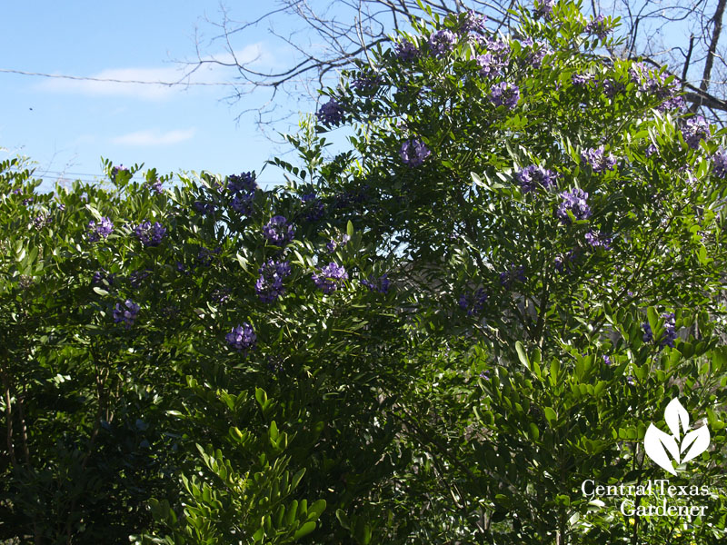 mountain laurel hedge instead of invasive ligustrums