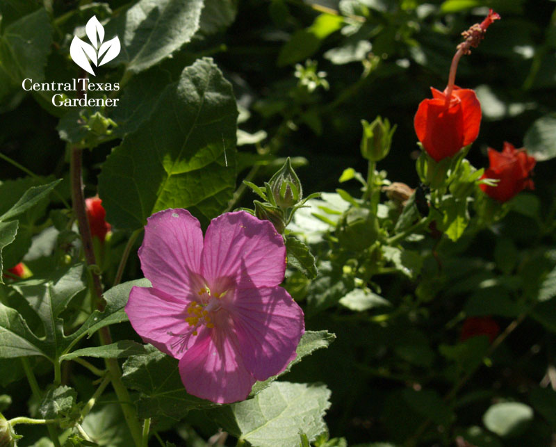 Rock rose Pavonia and Turk's cap native plant garden