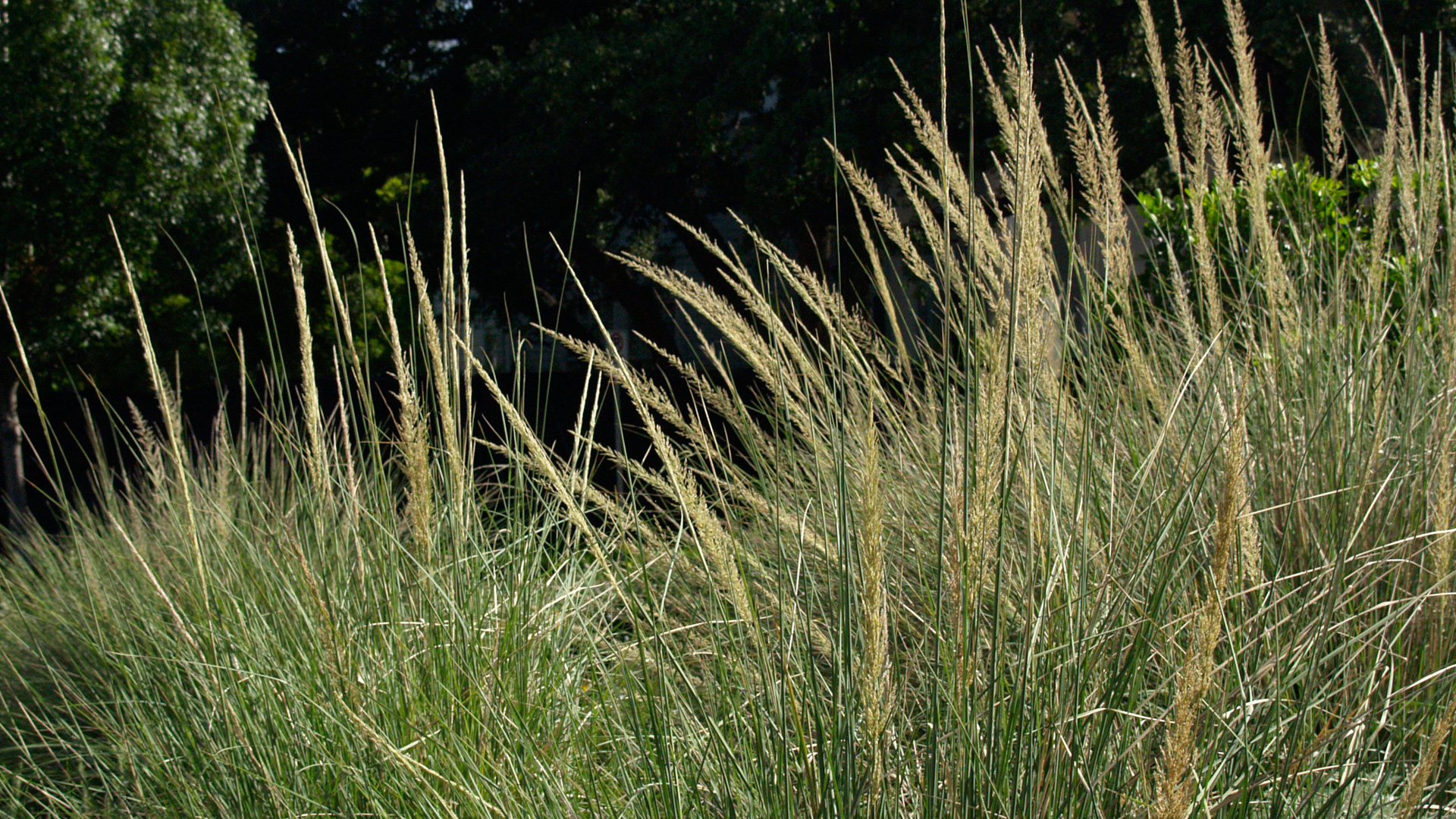 POW Lindheimer's Muhly