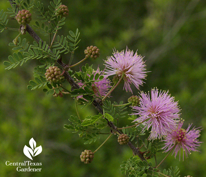 Native fragrant mimosa Mimosa borealis