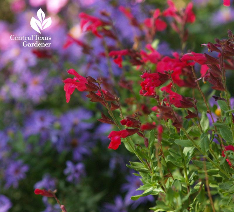 Salvia greggii and asters native wildlife habitat