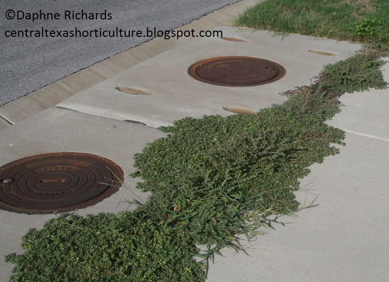weeds in sidewalk cracks by Daphne Richards