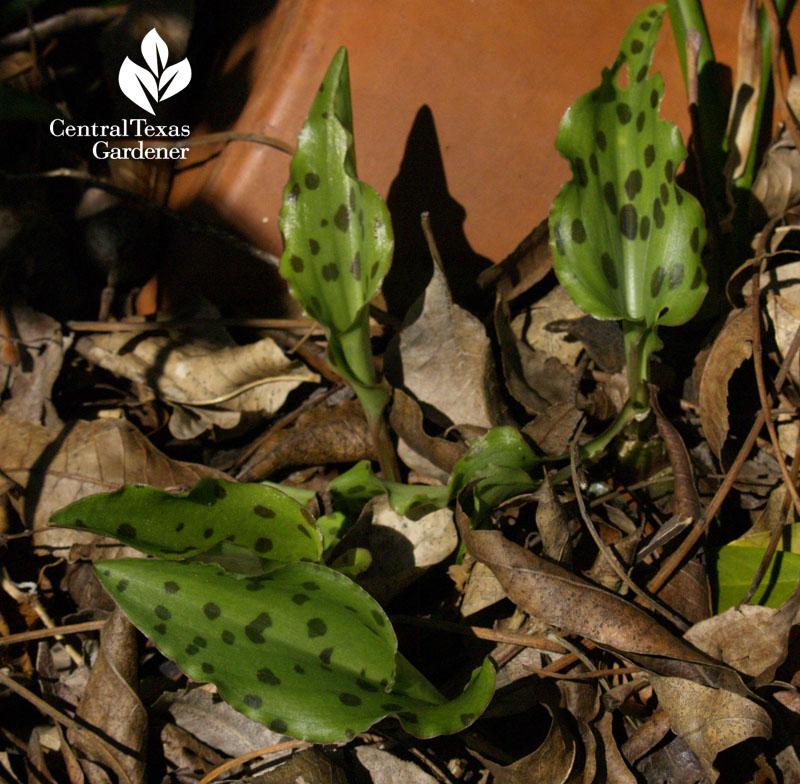 African hosta Drimiopsis maculata emerging in spring