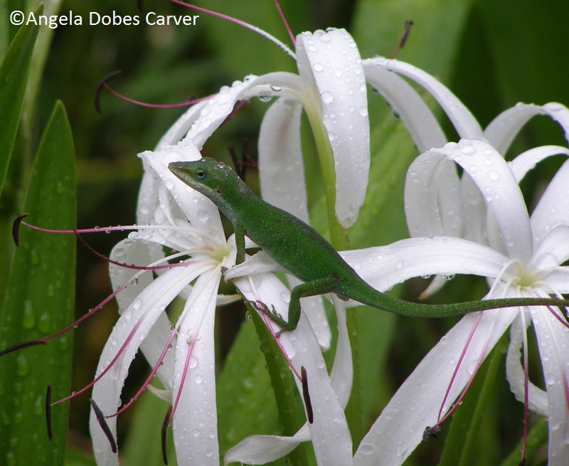 Crinum lily courtesy of Angela Dobes Carver