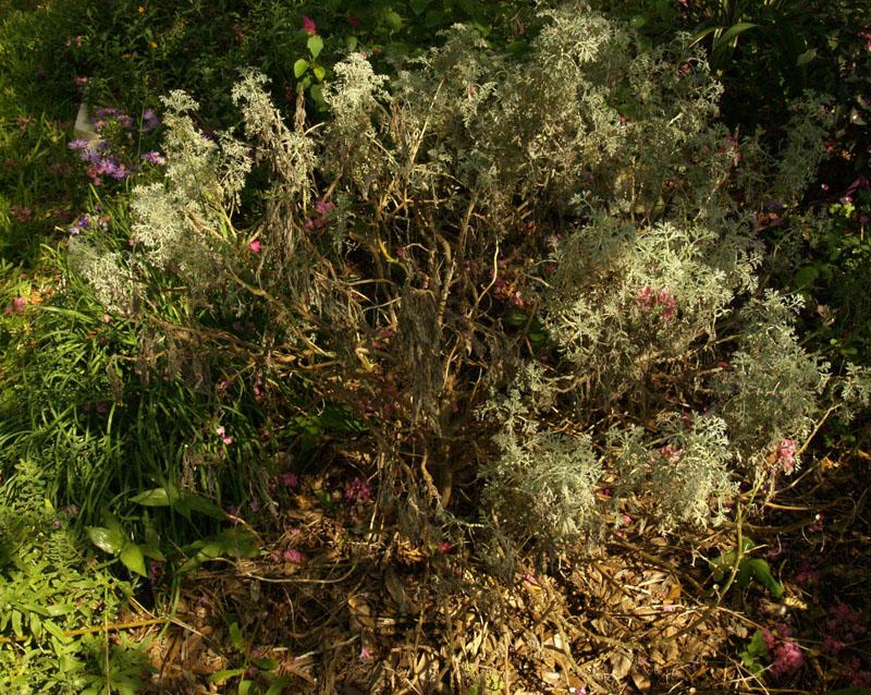 rotted artemisia austin garden