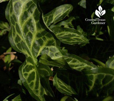 Arum italicum austin garden