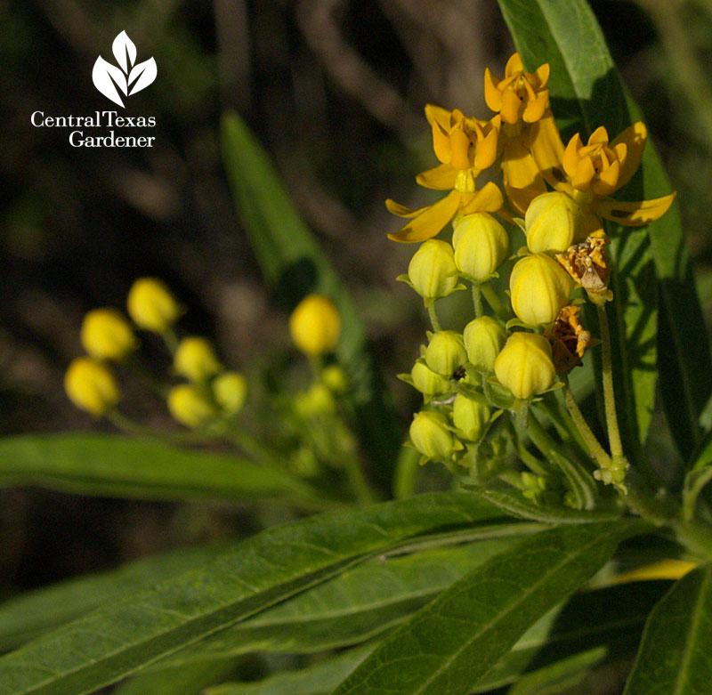 Gold milkweed A. curassavica  Austin Texas