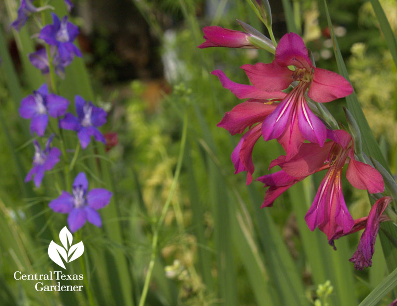 Byzantine gladiolus with larkspur
