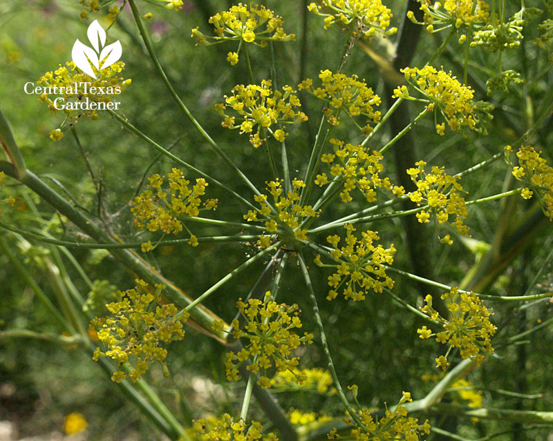 Dill flowers Central Texas