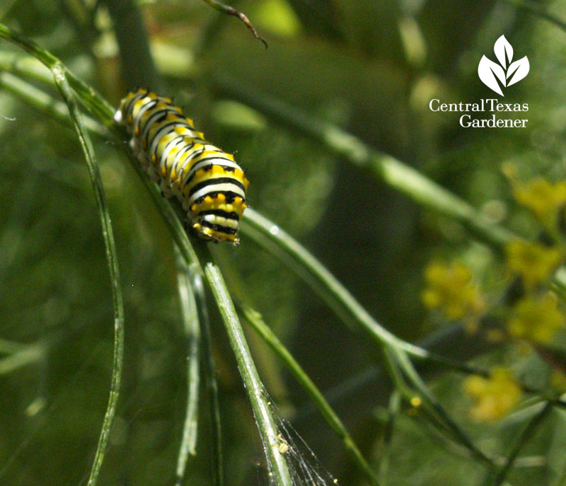 Swallowtail butterfly caterpillar on dill at Travis County Extension