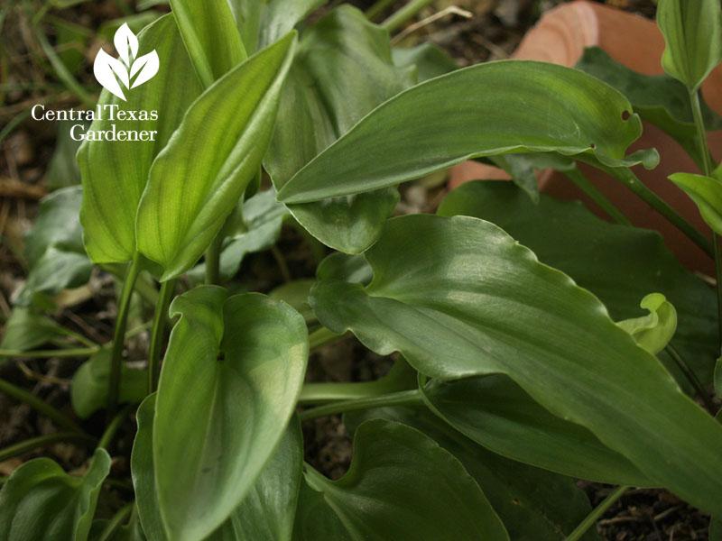 African hosta Drimiopsis maculata