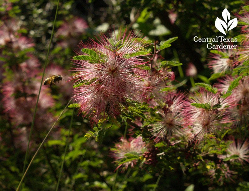 pink fairy-duster with bee wildlife habitat
