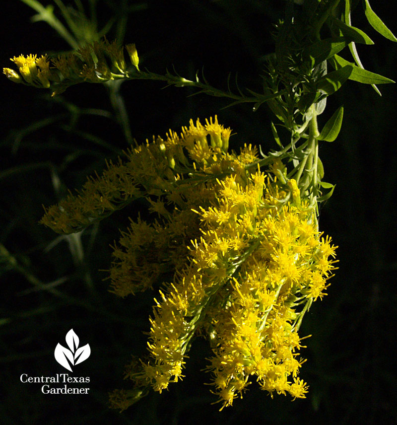 goldenrod Texas Native Plant Week
