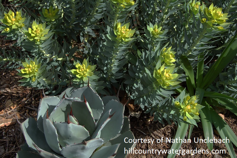 Gopher plant with Agave parryi, Hill Country Water Gardens & Nursery