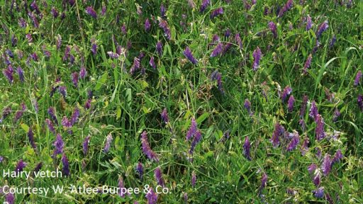 hairy vetch courtesy of Burpee