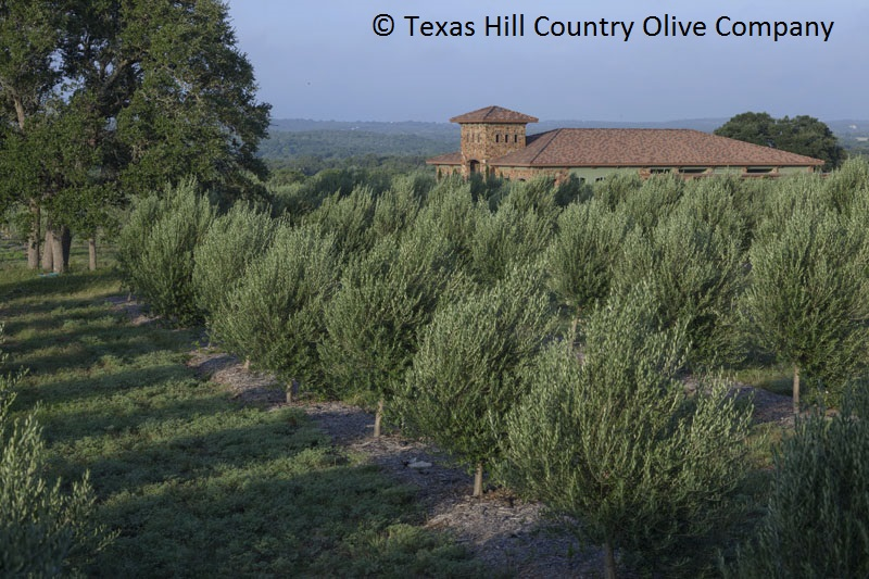 olive trees Texas Hill Country Olive Company