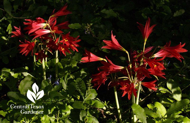 Oxblood lilies Austin garden