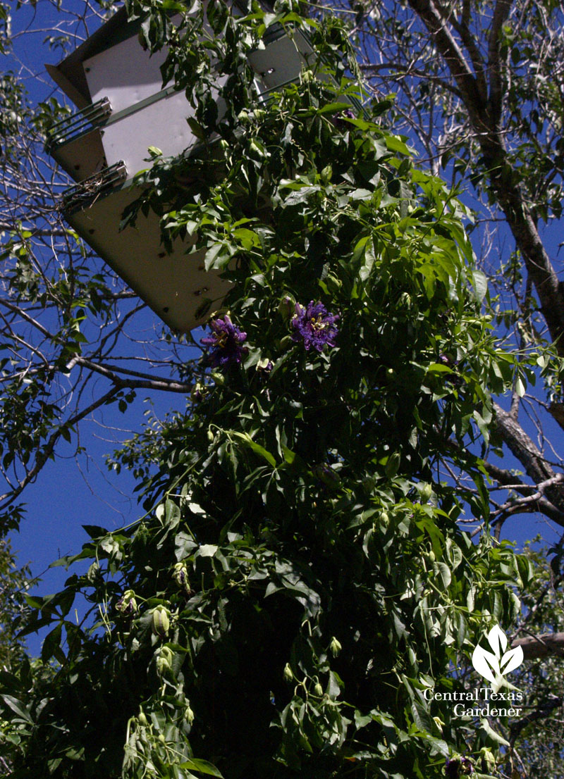 passionvine climbing up Purple Martin house