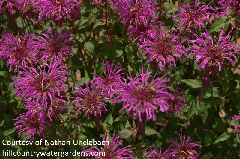 Peter's Purple bee balm Hill Country Water Gardens & Nursery