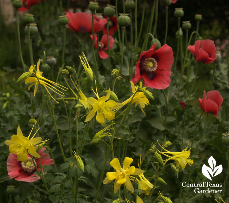 Corn poppies and columbine austin garden