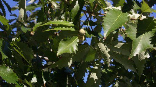 POW Chinkapin oak