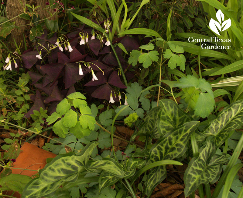 purple oxalis with Arum italicum and columbine