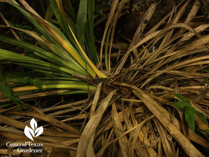 rotted soft leaf yucca austin garden rain bomb