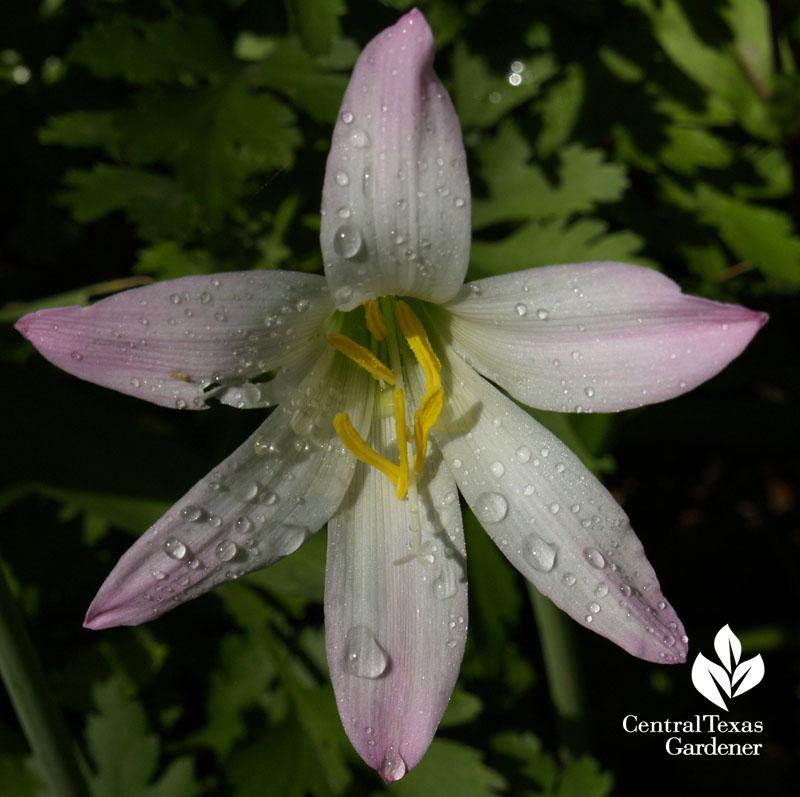 rain lily habranthus robustus