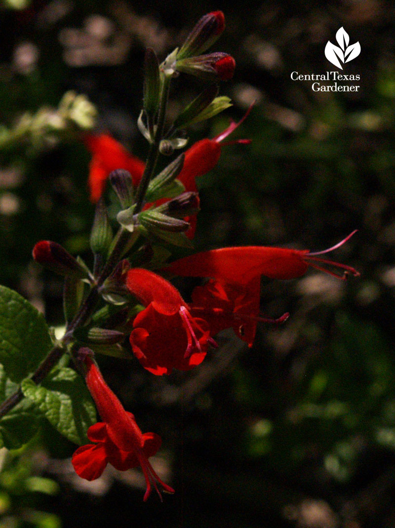 salvia coccinea austin texas Native Plant Week