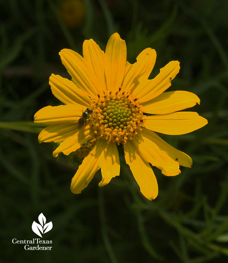 Skeleton-leaf goldeneye daisy native Texas plant