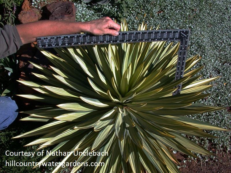 Yucca gloriosa 'Tiny Star' Hill Country Water Gardens & Nursery