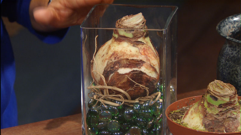 amaryllis bulbs Trisha Shirey Central Texas Gardener
