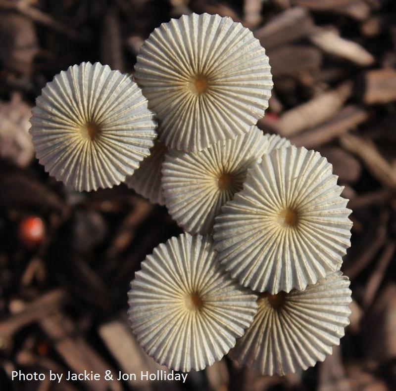 Garden mushrooms Holliday photo