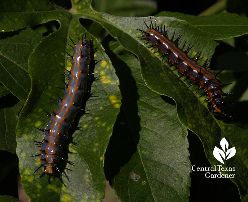 Gulf Fritillary caterpillars on passionvine Central Texas Gardener