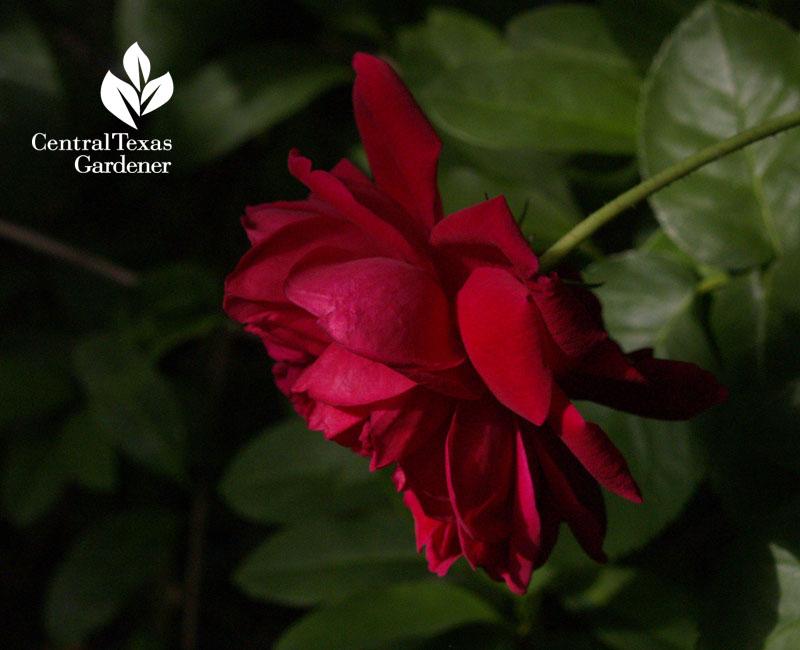 maggie rose austin texas garden