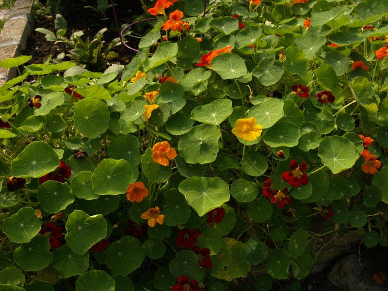 nasturtiums lucinda hutson garden