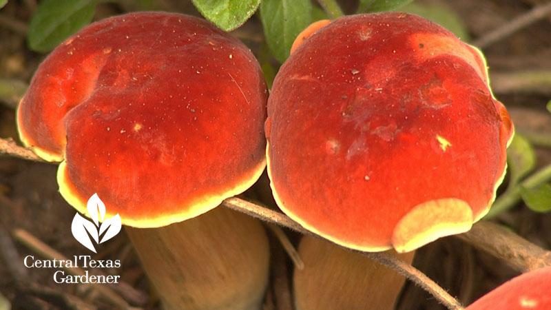 orange garden mushrooms austin garden