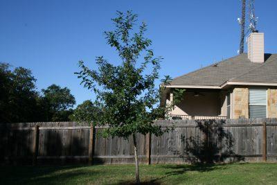 POW - monterrey oak
