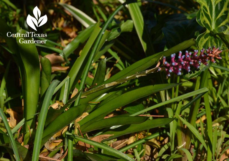 Matchstick bromeliad Aechmea gamosepala Central Texas Gardener