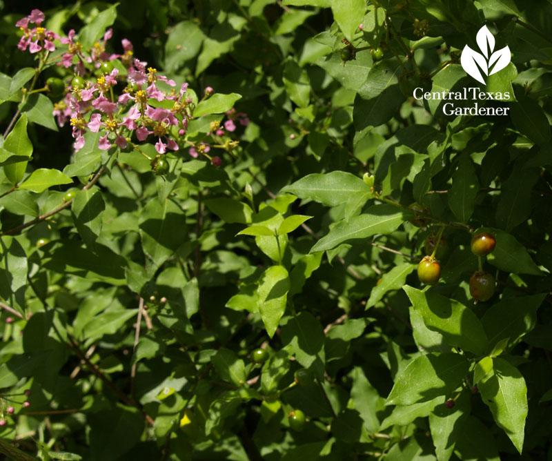 barbados cherry flowers, fruit austin texas