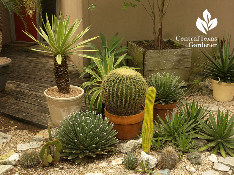 Agaves and cactus in containers Bob Barth garden
