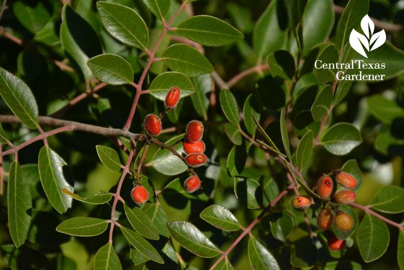 evergreen sumac fruit austin texas