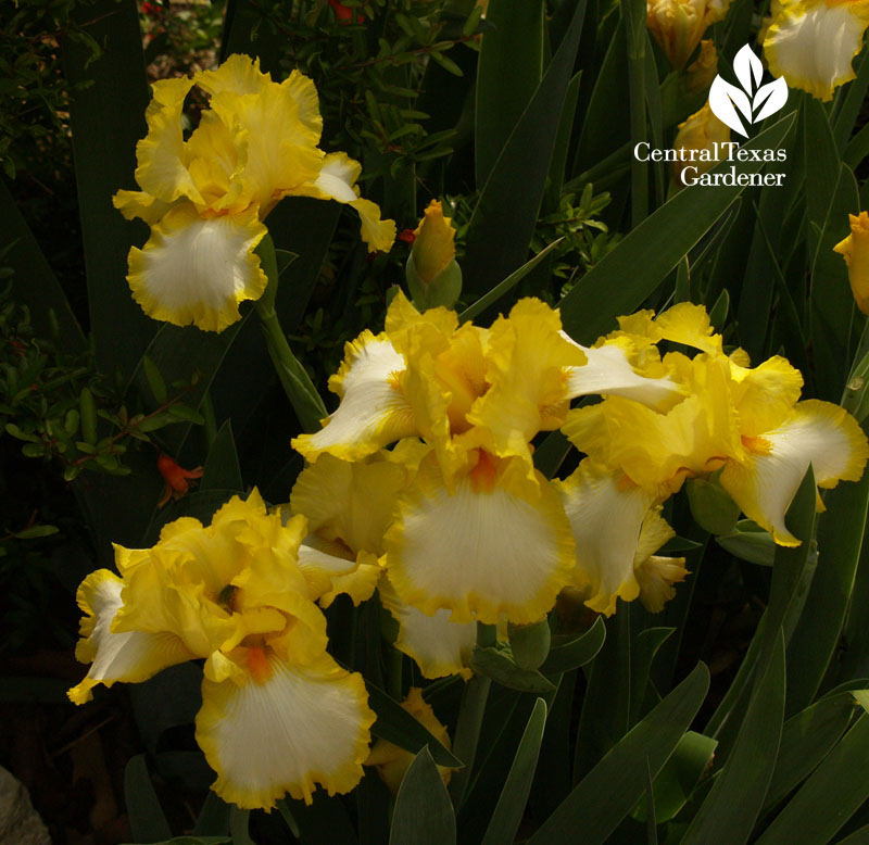Yellow and white iris Temple garden CTG