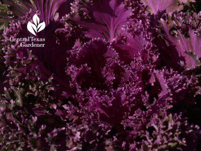 Purple ornamental kale austin texas garden