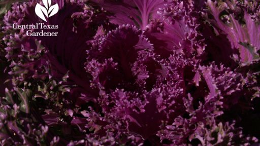 Purple ornamental kale austin texas garden