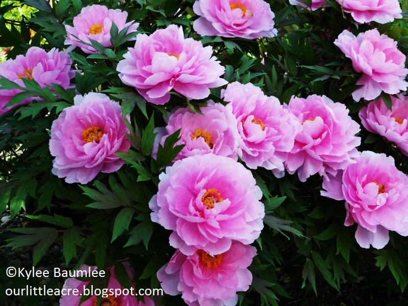 Peony by Kylee Baumlee Our Little Acre